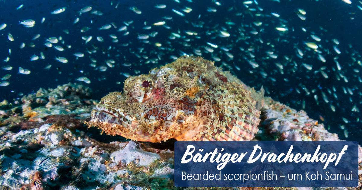 Bärtiger Drachenkopf – Bearded scorpionfish – um Koh Samui