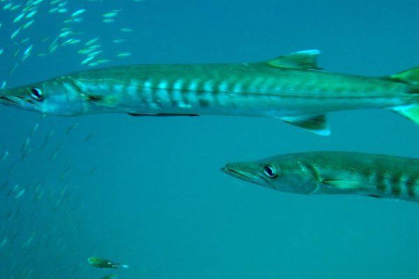Barracudas - Marine Park
