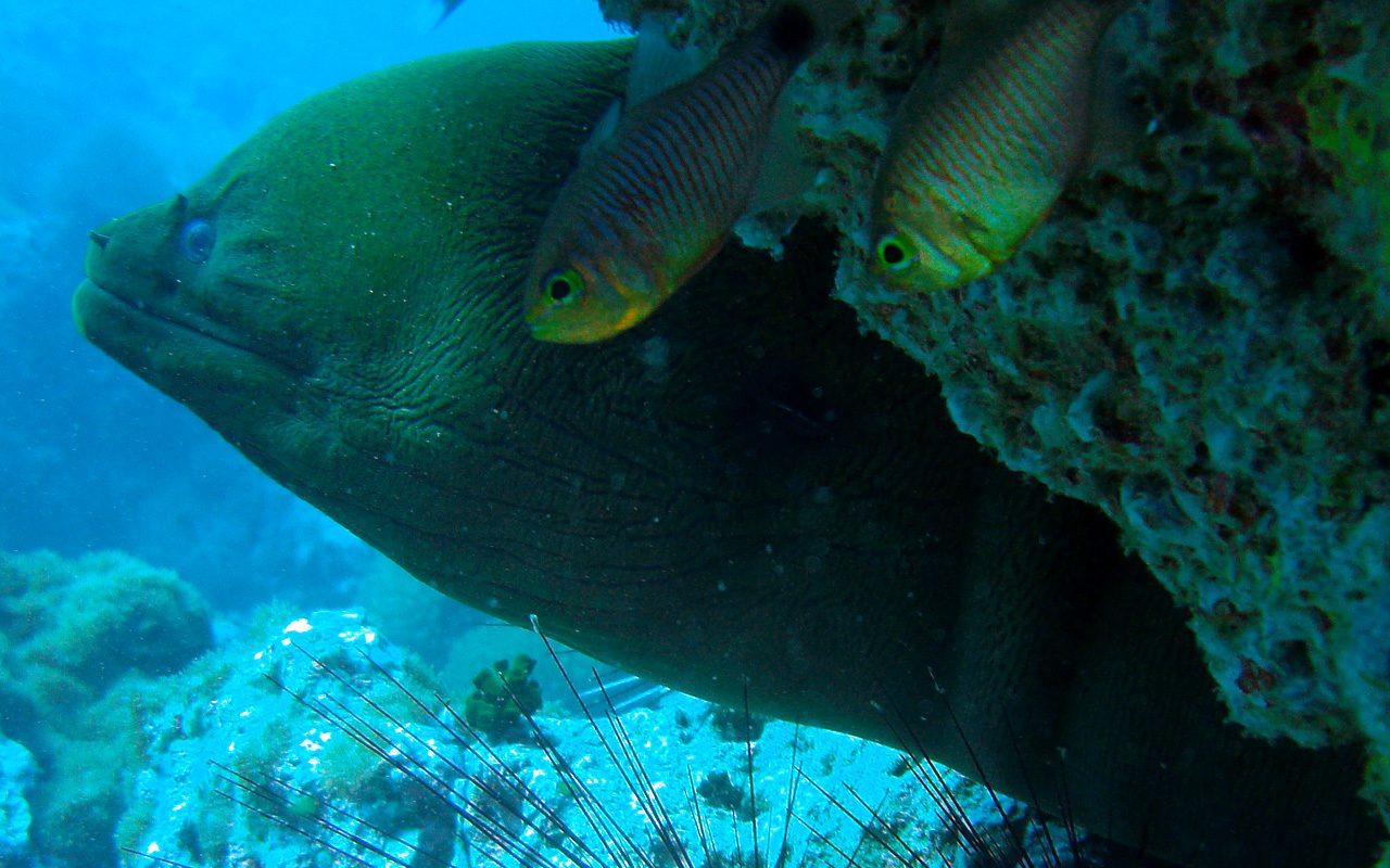 Riesenmuräne bei Sail Rock