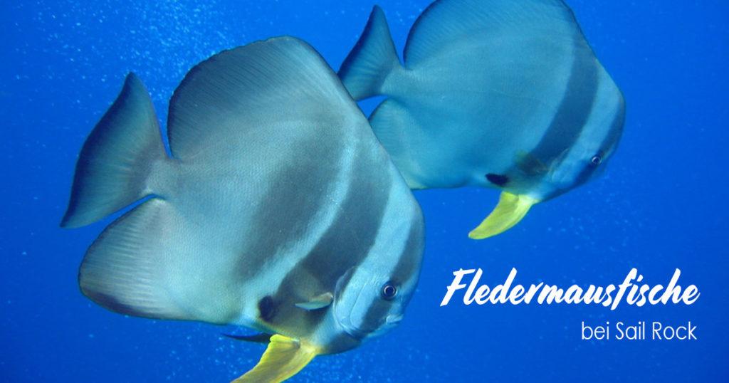 Fledermausfische bei Sail Rock