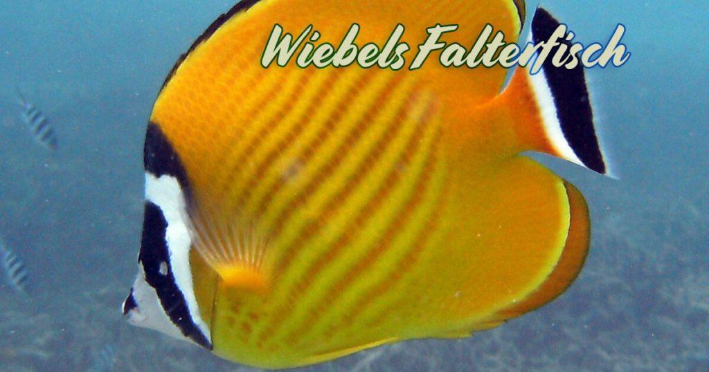 Der Wiebels Falterfisch