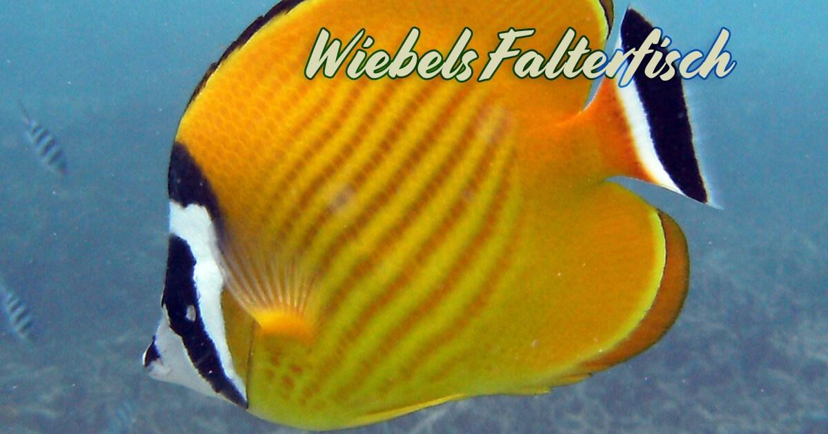Wiebels Falterfisch