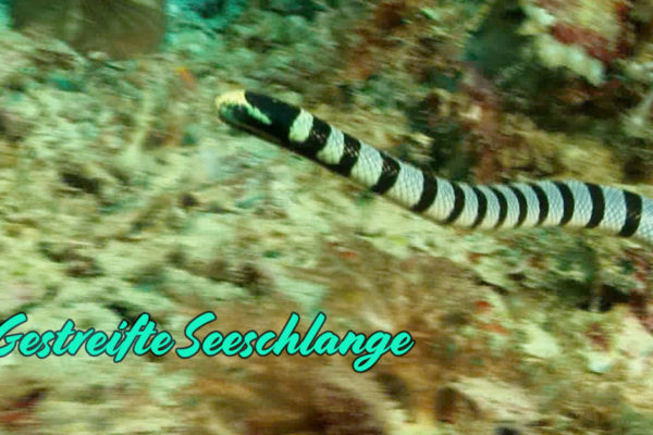 Gestreifte Seeschlange