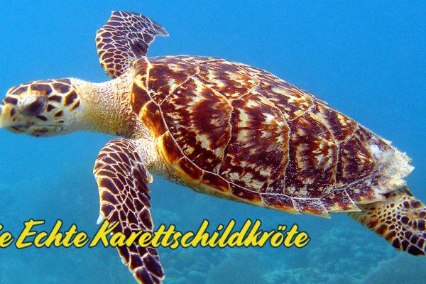 Die Echte Karettschildkröte