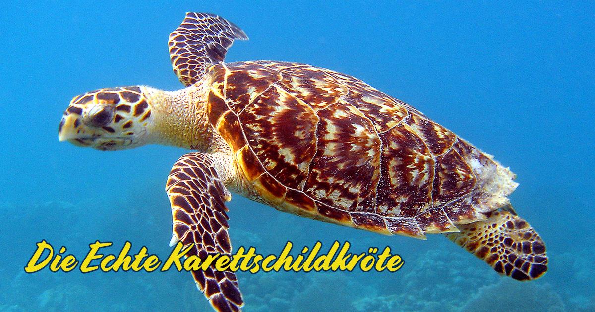 DieEchte Karettschildkröte (Hawksbill Sea Turtle)