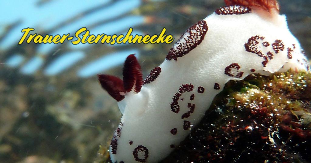 Trauer-Sternschnecke