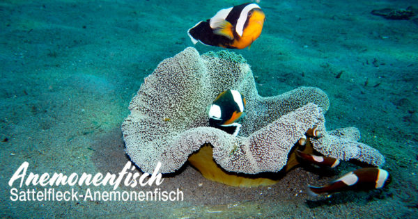 Sattelfleck Anemonenfisch