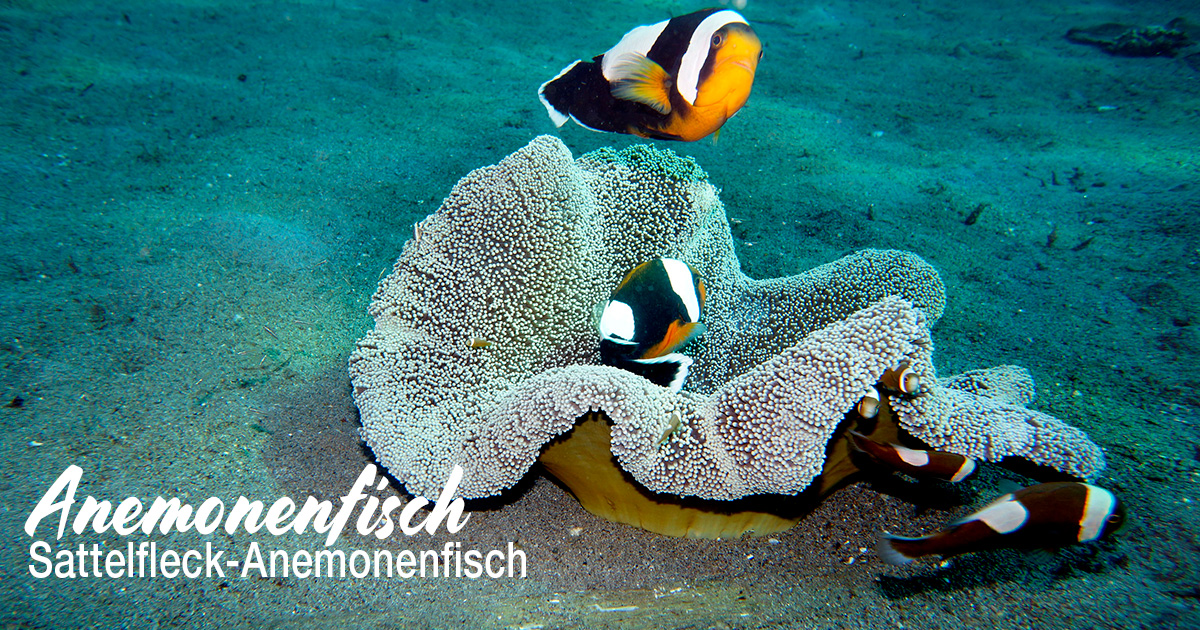 Anemonenfisch (Sattelfleck-Anemonenfisch)
