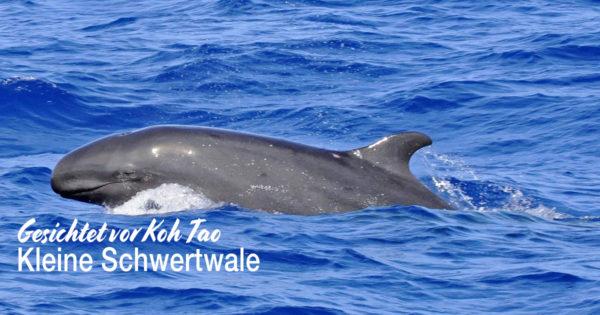 Kleine Schwertwale vor Koh Tao gesichtet